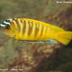 Metriaclima sp. ,zebra gold'