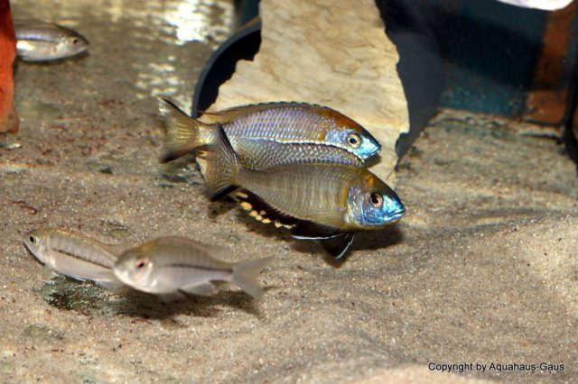 Nyassachromis prostoma (samec a samice)