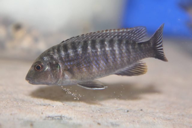 Labidochromis vellicans Gome Rock (samice)
