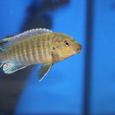 Labidochromis vellicans