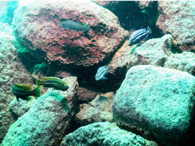 Melanochromis heterochromis (samec a samice)