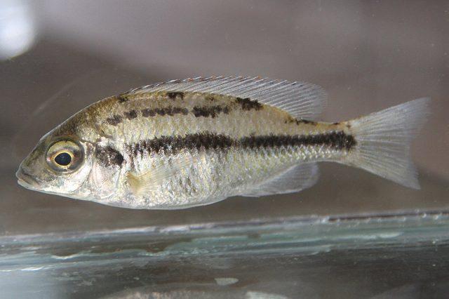 Protomelas taeniolatus (samice)