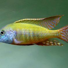 Lethrinops albus
