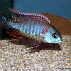 Lethrinops sp. 'mbasi'