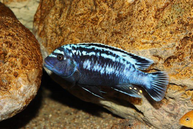 Metriaclima sp. 'msobo' Magunga (samec)