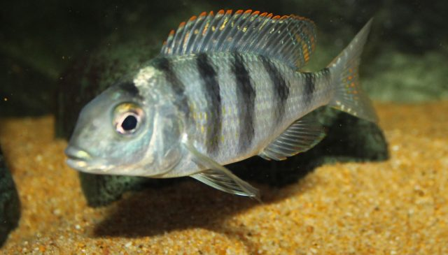 Mylochromis ericotaenia Manda(samice)