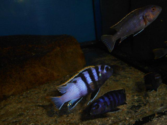 Labidochromis sp. 'mbamba' (samec a samice)