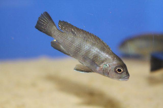 Metriaclima sp. 'mbweca' (samice)