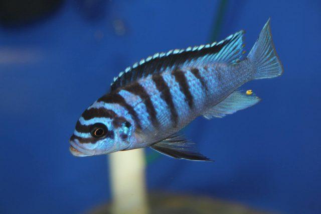 Metriaclima fainzilberi Mdoka Reef (samec)