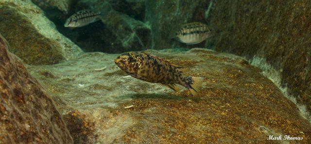 Labeotropheus trewavasae Mitande (OB samice)