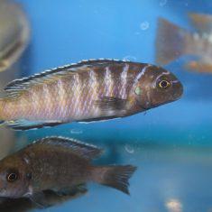 Tropheops modestus