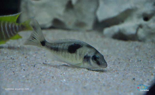 Naevochromis chrysogaster (samice)