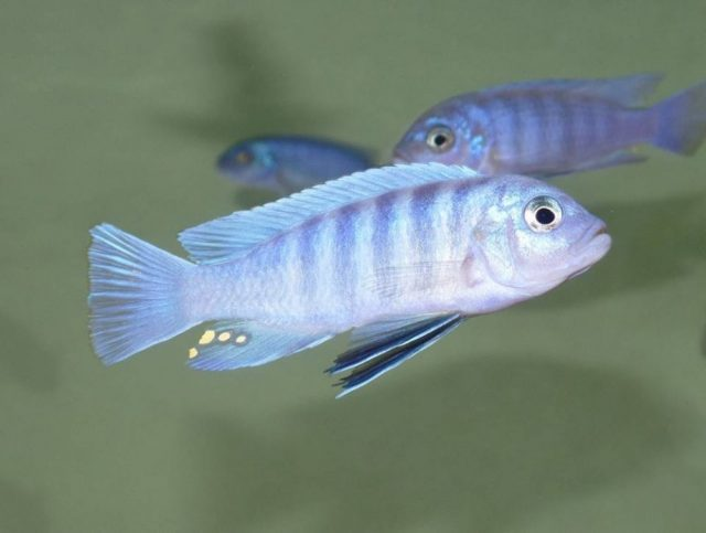 Cynotilapia sp. ,iwera' Cove Mountain (samec)