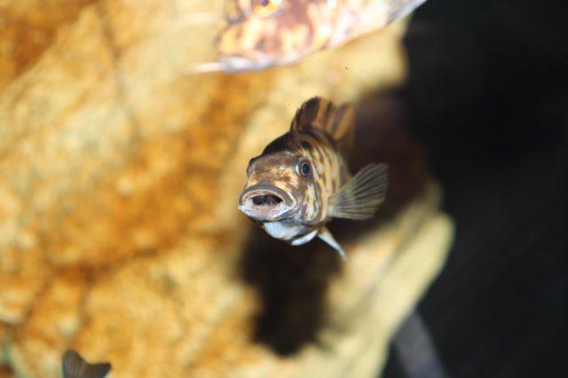 Metriaclima fainzilberi Puulu (OB samice s potěrem v ústech)