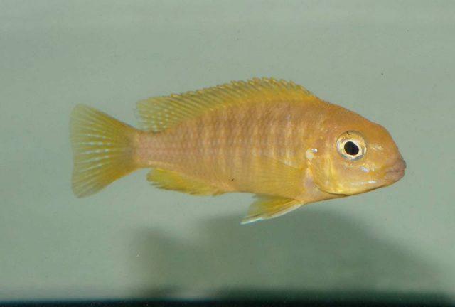 Tropheops romandi Mazinzi Reef (samice)