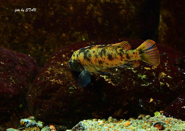 Labeotropheus trewavasae Katale Island (OB samice)