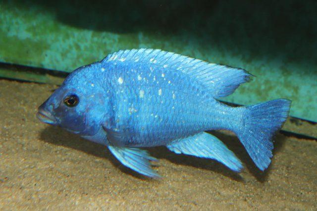 Placidochromis sp. 'phenochilus'