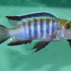 Cynotilapia sp. 'lion'