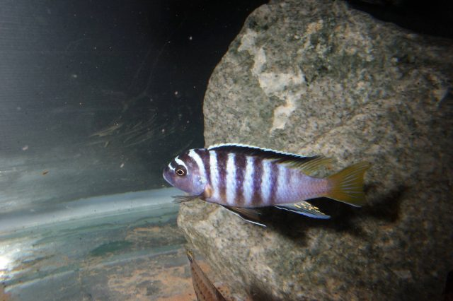 Metriaclima sp. 'zebra yellow tail' (samec)