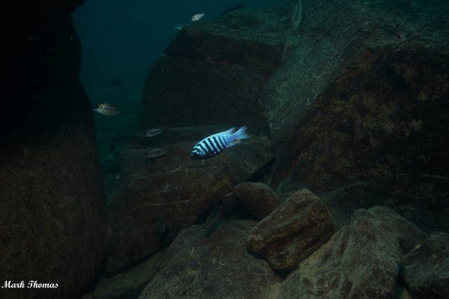 Metriaclima zebra Mitande (samec)