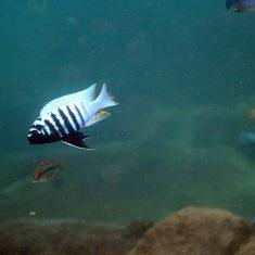 Metriaclima zebra (15)