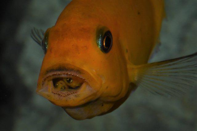 Metriaclima estherae Minos Reef (samice)