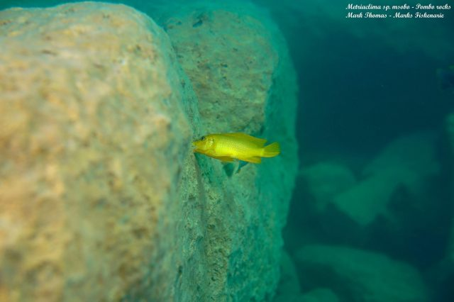 Metriaclima sp. 'msobo' Pombo Rock (samice)