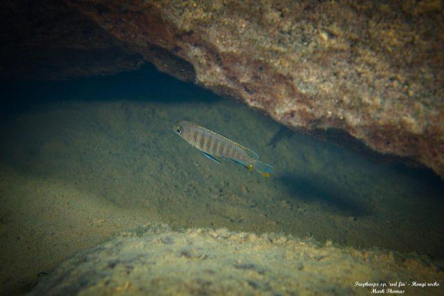 Tropheops sp. 'red fin' Hongi Rock (samice)