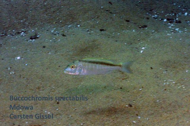 Buccochromis spectabilis