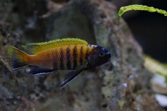 Tropheops sp. 'red fin' Charo (samec)