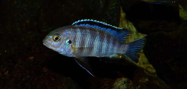 Tropheops sp. 'black dorsal'