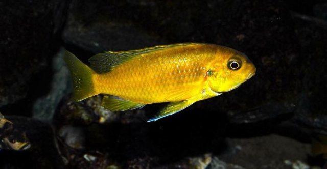 Tropheops sp. ,black dorsal' Luwala Reef (samice)