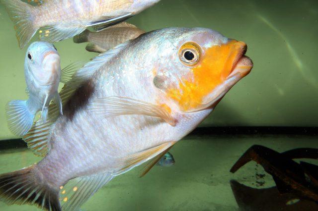 Petrotilapia sp. 'yellow chin' (samec)
