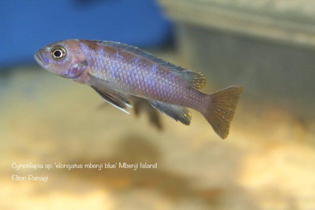 Cynotilapia sp. 'elongatus mbenji blue' (samice)