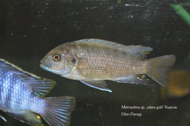 Metriaclima sp. ,zebra gold' Ruarwe (samice)