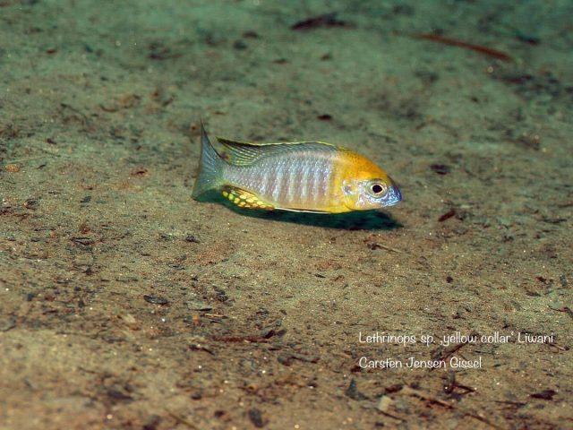 Lethrinops sp. 'yellow collar'