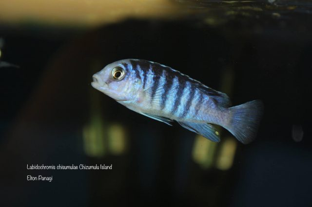 Labidochromis chisumulae Chizumulu Island