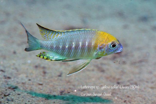 Lethrinops sp. 'yellow collar' Liwani