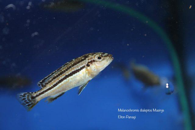 Melanochromis dialeptos Masinje (samice)