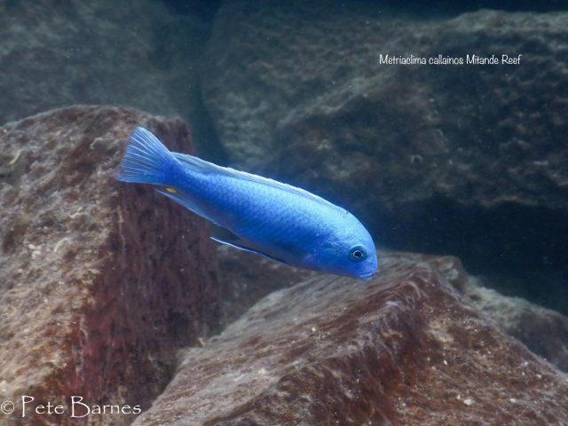 Metriaclima callainos Mitande Reef