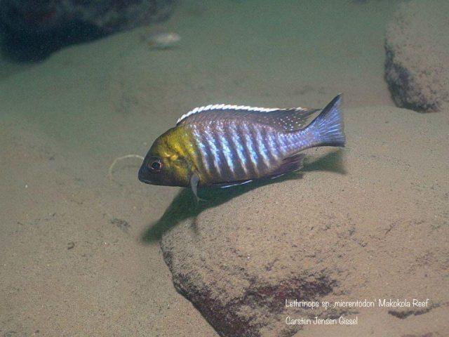 Lethrinops sp. 'micrentodon'