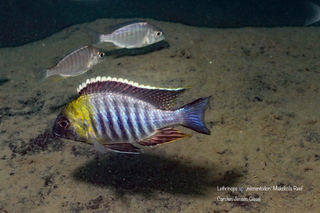 Lethrinops sp. ,micrentodon'(samec a samice)
