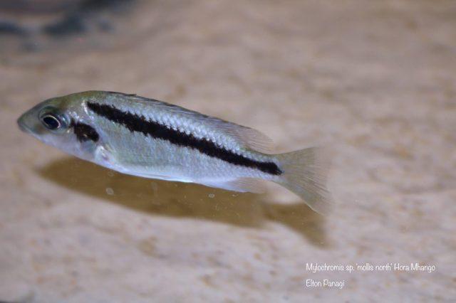 Mylochromis sp. ,mollis north' Hora Mhango