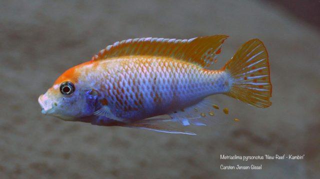 Metriaclima pyrsonotos Kambiri Reef (O samec)