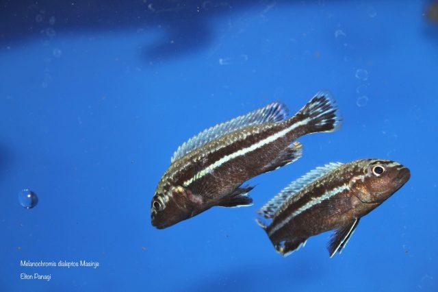 Melanochromis dialeptos Masinje (samec)