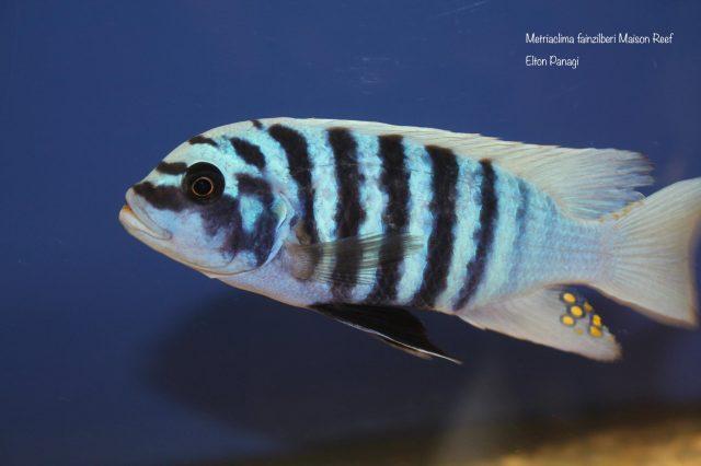 Metriaclima fainzilberi Maison Reef (samec)