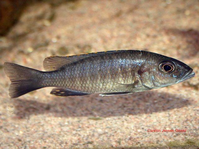 Sciaenochromis fryeri (samice)