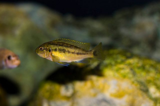 Pseudotropheus galanos (samice)