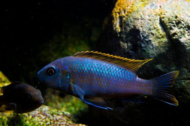 Pseudotropheus galanos