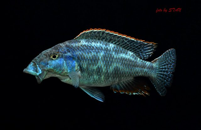 Nimbochromis linni (samec)